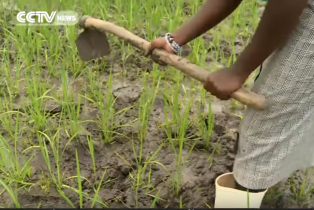 Scientists in Uganda seek to ramp up rice production using different varieties