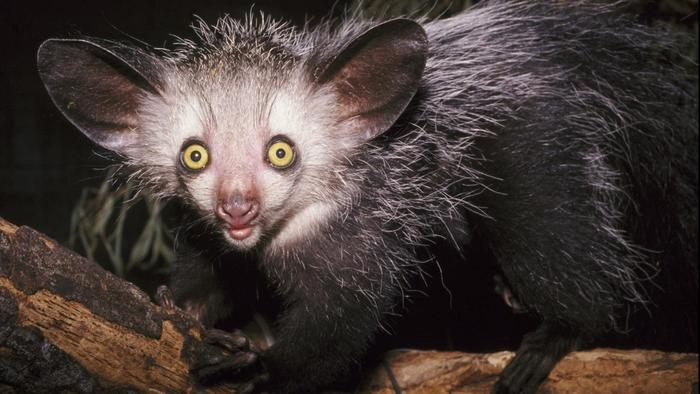 why-are-aye-ayes-endangered_412d73db0cc69235