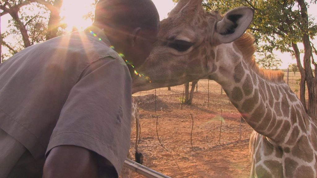 Max Kapembe kissing a giraffe. Max has a great relationship with animals. He is an animal minder at Okutala Lodge.