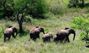 The Kenya Wildlife Service said two suspects had been arrested after they were traced to Ndoomani area of Loitoktok sub-county where blood-stained weapons used to kill the elephants were found