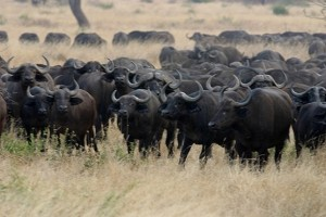 Two rhinos and 100 buffaloes have died from an anthrax outbreak at the lake Nakuru national park
