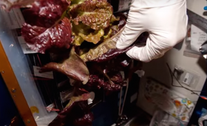 Astronauts Have Grown Lettuce In Space For The First Time