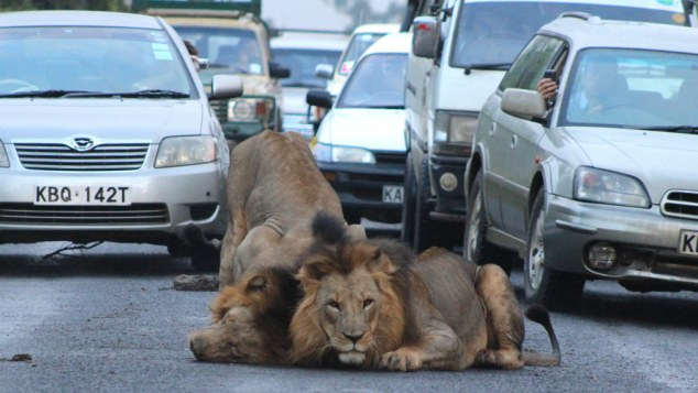 ***EXCLUSIVE***  NAIROBI, KENYA - JANUARY 17: Two lions roll around in the road bringing rush hour traffic in Nairobi, Kenya, to a stand still.  RUSH hour traffic comes to a stand still - when two lions decide to roll around in the middle of a ROAD. The African lions caused tail backs during the morning commute on January 17 on the edge of the Nairobi National Park in Kenya, with their antics. Amateur South African snapper Gareth Jones was one of the drivers stuck in the traffic jam and decided to get out and photograph the unique scene. His images show the lions rolling in Buffalo dung to mask their scent in a bid to go undetected when hunting. But that was no consolation for commuters, who were forced to watch the ten minute display, before the lions left the road.   PHOTOGRAPH BY Gareth Jones / Barcroft Media  UK Office, London. T +44 845 370 2233 W www.barcroftmedia.com  USA Office, New York City. T +1 212 796 2458 W www.barcroftusa.com  Indian Office, Delhi. T +91 11 4053 2429 W www.barcroftindia.com