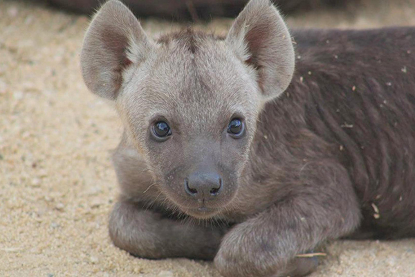 His best animal relationship is with a hyena called Wolfie. He has taken care of Wolfie since he was brought to the Lodge when he was young.