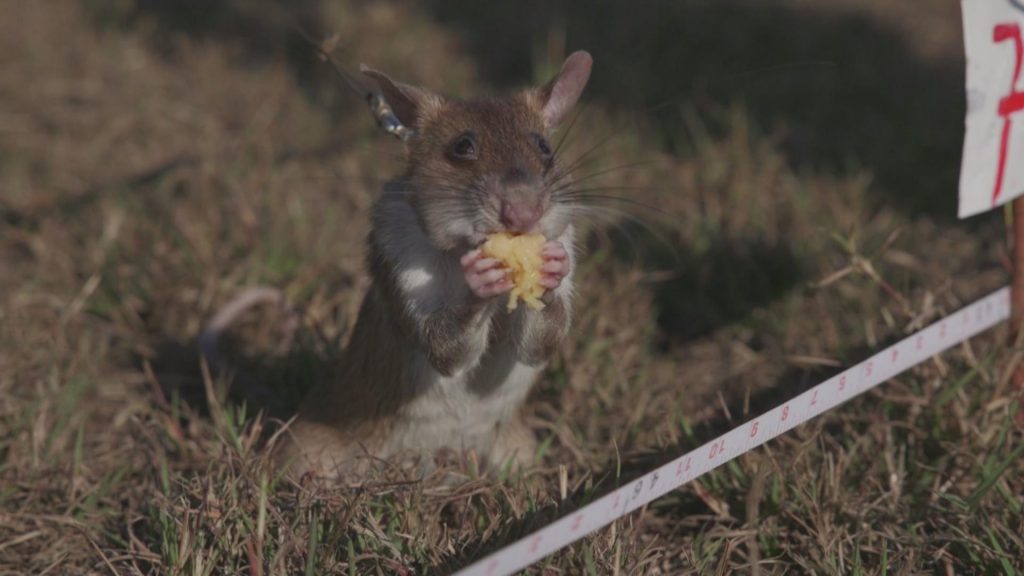 A hero rat enjoying his reward after detecting a landmine.