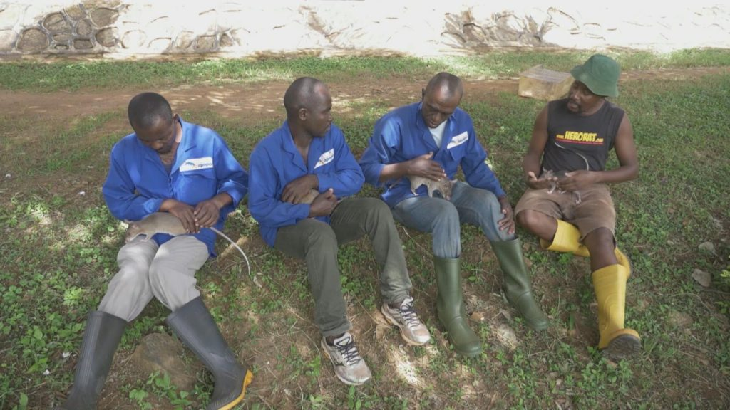 APOPO workers socializing with rats.
