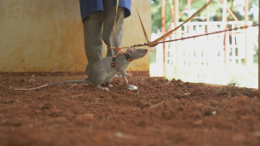 A hero rat sniffing in the air, an indication that it has spotted a landmine.