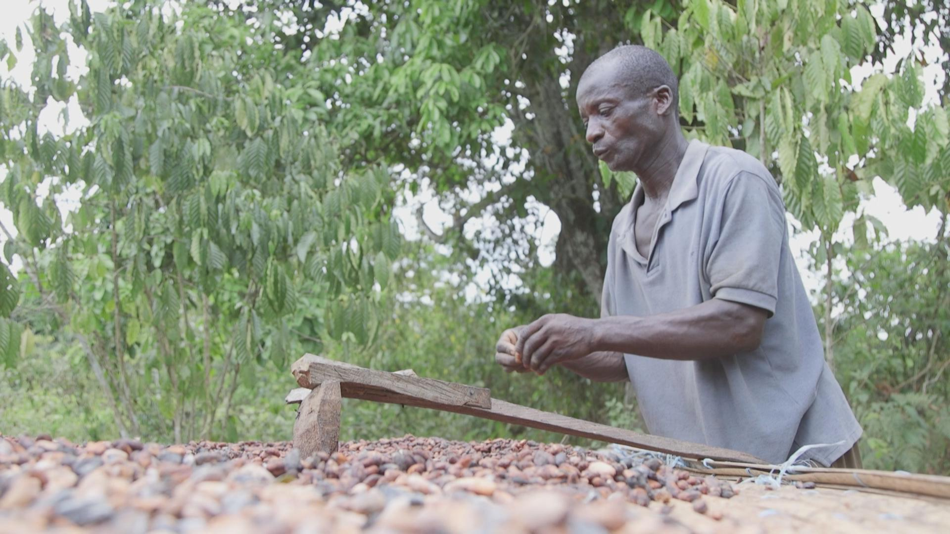 Thomas sorting out cacao beans.