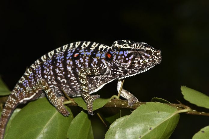 This photos taken on Thursday, March 12, 2020 and provide by the Staatliche Naturwissenschftliche Sammlung Bayerns, SNSB, shows a Voeltzkow-Chameleon in Madagascar. Scientists say they have found an elusive chameleon species that was last spotted in Madagascar 100 years ago. Researchers from Madagascar and Germany said that they discovered several living specimens of Voeltzkow's chameleon during an expedition to the northwest of the African island nation. (SNSB/Frank Glaw via AP)